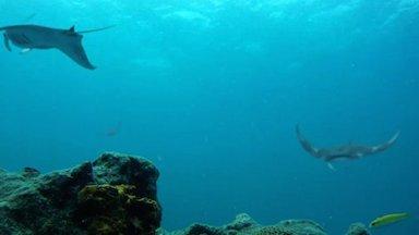 thumb cg manta rays